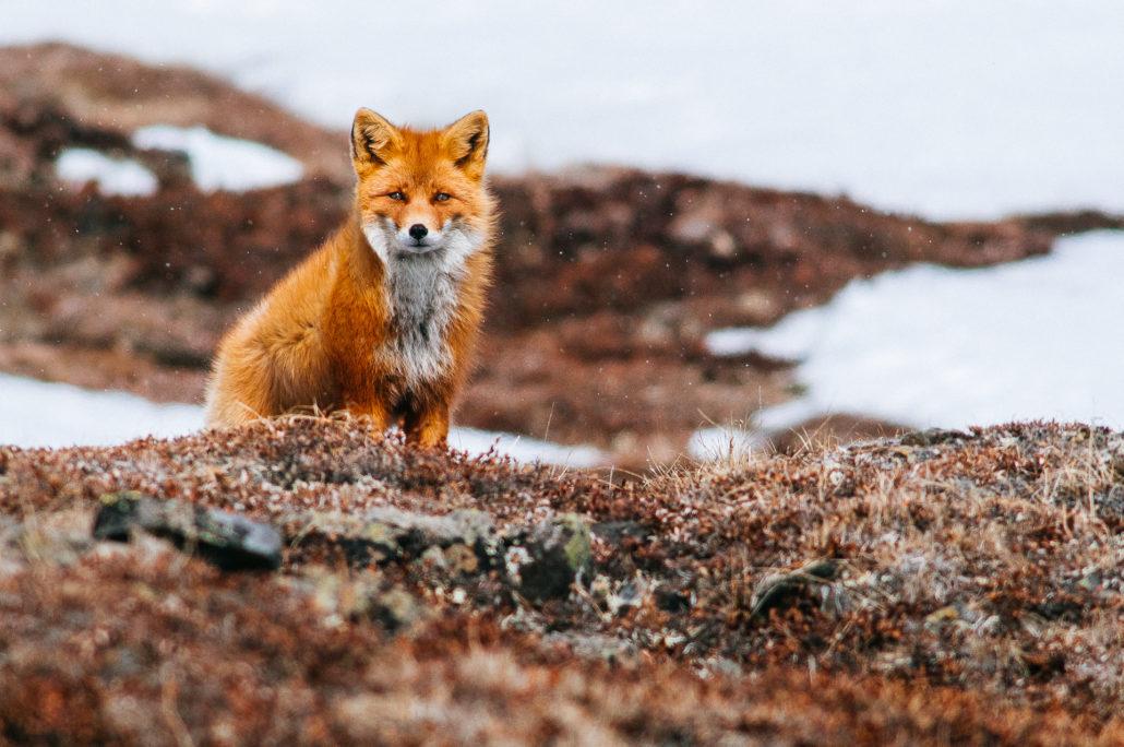 A rókák kitűnően felfegyverzett éjjeli vadászok – Rókavilág.hu