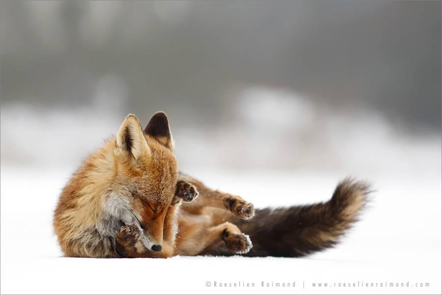 Rókák az öröm pillanataiban – Rókavilág.hu