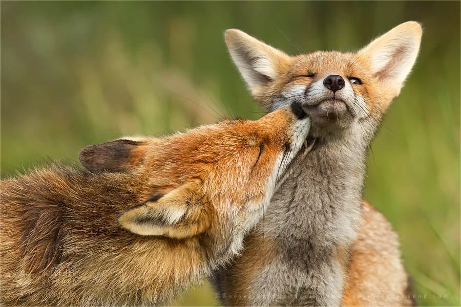 Szuper lesifotók a rókák mindennapjairól 1. rész – Rókavilág.hu