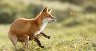 Szuper lesifotók a rókák mindennapjairól 3. rész – Rókavilág.hu