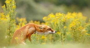 Szuper lesifotók a rókák mindennapjairól 2. rész – Rókavilág.hu