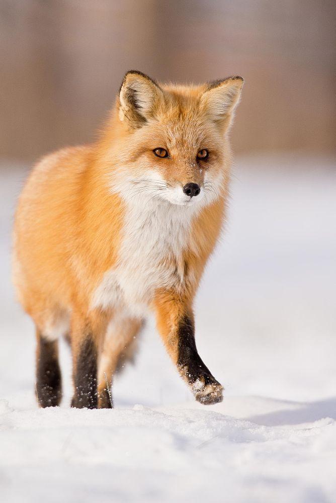 Téli bunda, nyári bunda - Vörös róka bunda – Rókavilág.hu