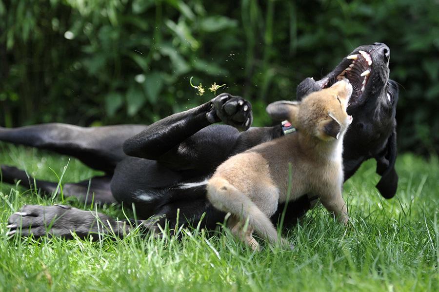 Pixi, a mentett rókakölyök! – Rókavilág.hu