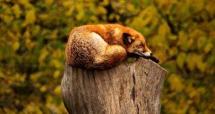 Rókák és a famászás.. - Rókavilág.hu