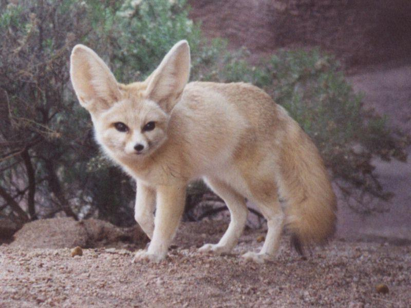 A sivatagi róka és megjelenése – Rókavilág.hu