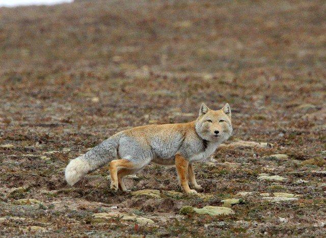 Tibeti róka (Vulpes ferrilata) – Rókavilág.hu