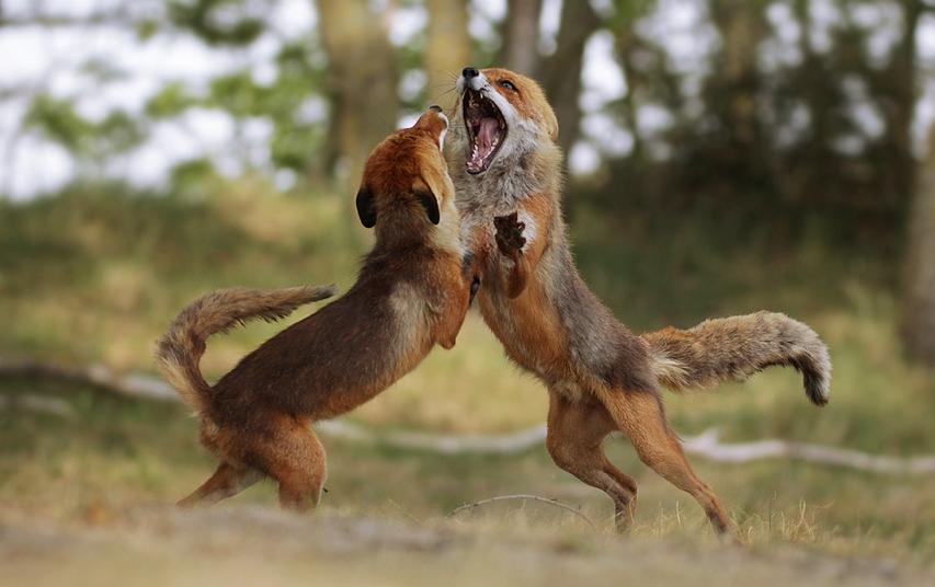 A két rosszcsont rókakölyök – Rókavilág.hu