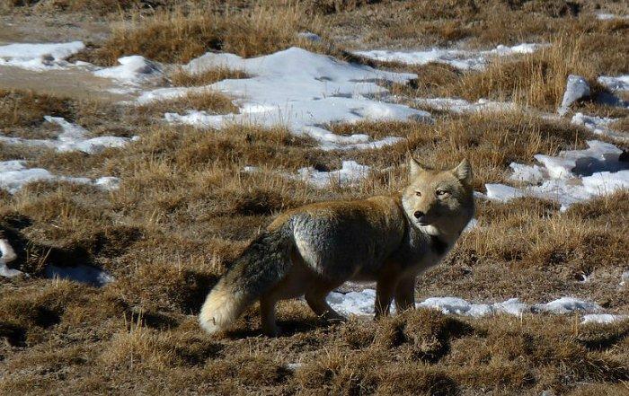 A tibeti róka életmódja – Rókavilág.hu