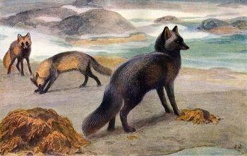 Brehm - Az állatok világa - Rókák - Rókavilág.hu