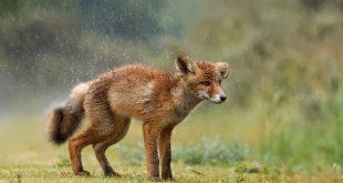 Tavaszi esőben ázott róka - Rókavilág.hu