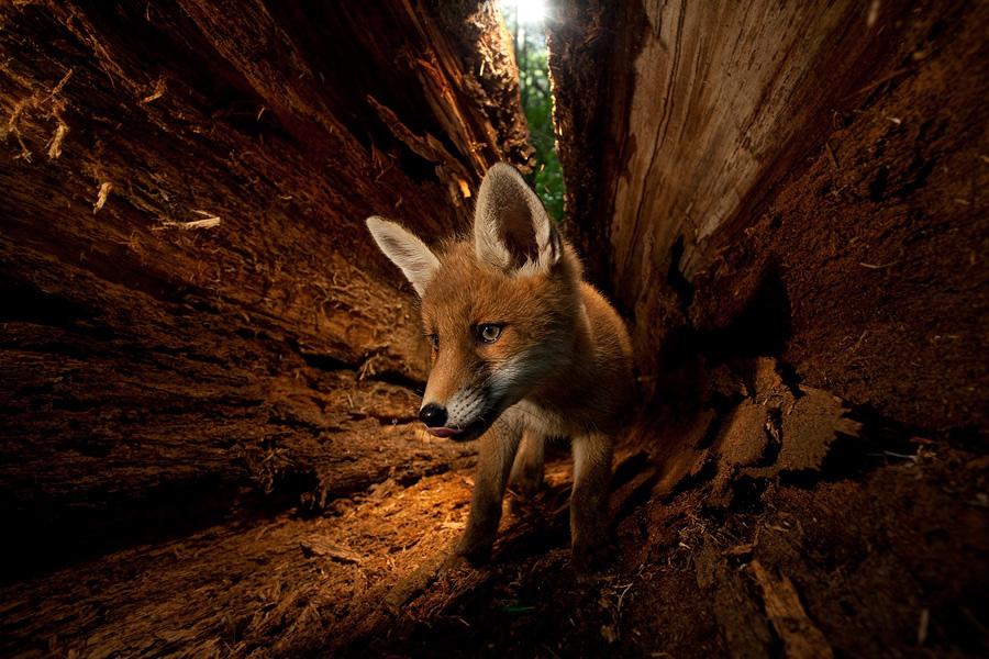 A róka és a fára mászás - Rókavilág.hu
