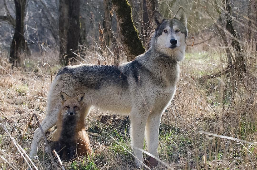 A farkaskutya és a róka örök barátság - Rókavilág.hu