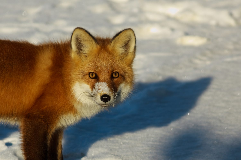 Alaszka vadon élő rókái - Rókavilág.hu
