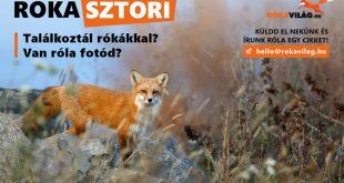 Küldd el saját rókás történetedet! - Rókavilág.hu