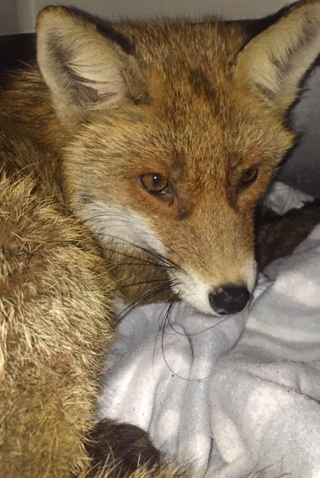 A róka, aki a győri mélygarázs tetején kötött ki - Rókavilág.hu