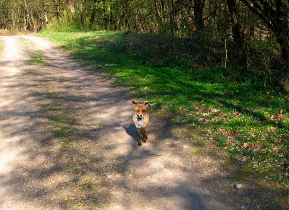 Találkozás egy rókával a Mátrában - Rókavilág.hu