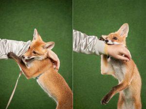 Eshu, a szuper fotogén rókakölyök! - Rókavilág.hu