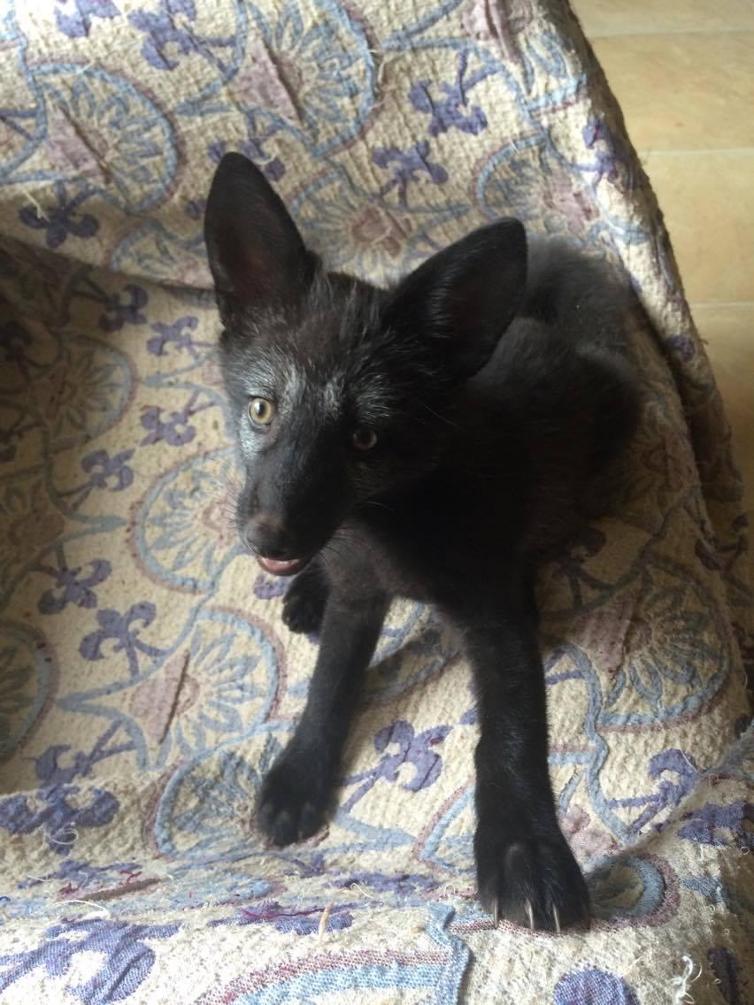 Cseperedik Amyra a kis ezüst rókalány - Rókavilág.hu
