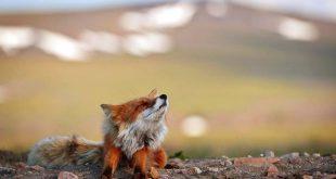Jó reggelt kedves rókabarát Kétlábúak! - Rókavilág.hu
