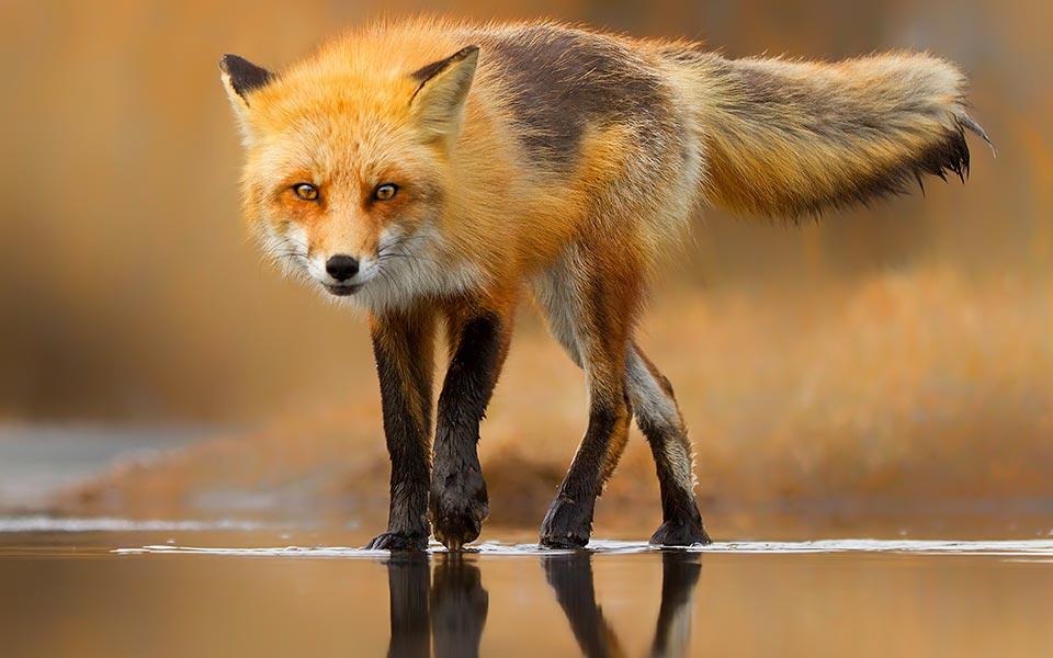 Nem csak a kétlábúak tudnak vízen járni! - Rókavilág.hu