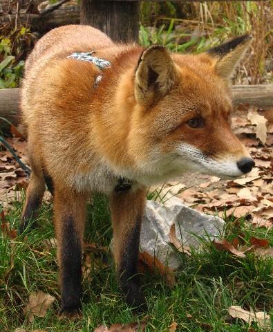 Fogadj örökbe rókákat és más állatokat! - rókavilág.hu