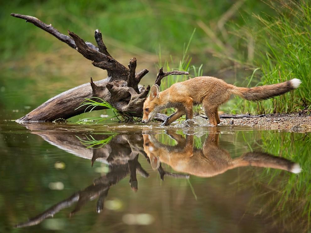 Lefetyelő rókák - Fotósorozat - Rókavilág.hu