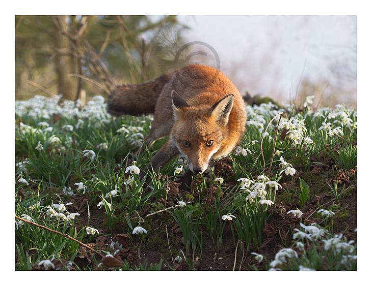 Hóvirágos jó reggelt kívánunk! - Rókavilág.hu