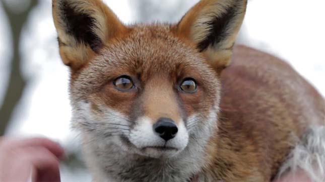 A rókák és a sima bőrű hű barátsága - Rókavilág.hu