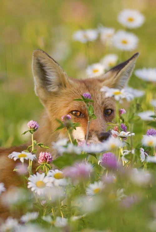 rókák virágkoszorúban - Rókavilág.hu
