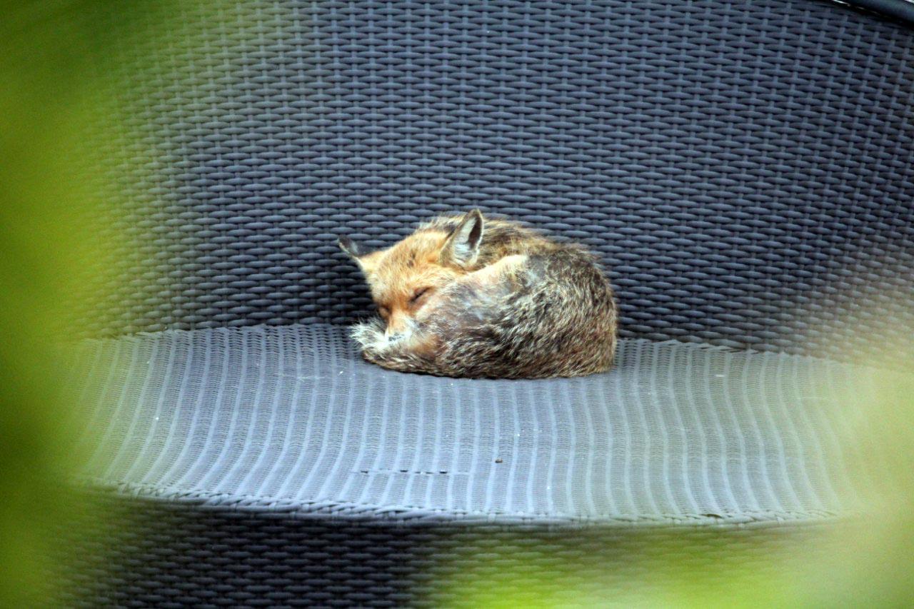 Nagykovácsi napozó rókája - Rókavilág.hu