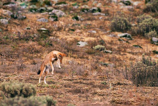 Az Abesszin róka, vagyis a rókásított Etióp farkas - Rókavilág.hu