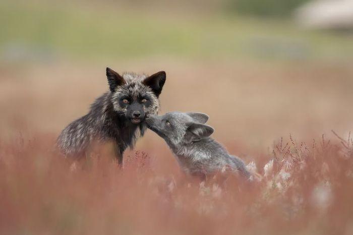 Hétvégi ebzárlat, kezdődik a rókák vakcinázása! - Rókavilág.hu