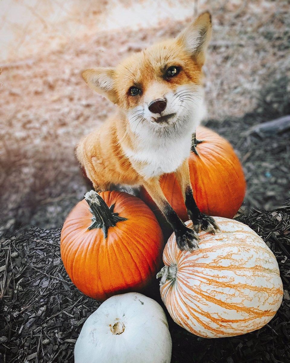 Halloween rókamóka - Rókavilág.hu