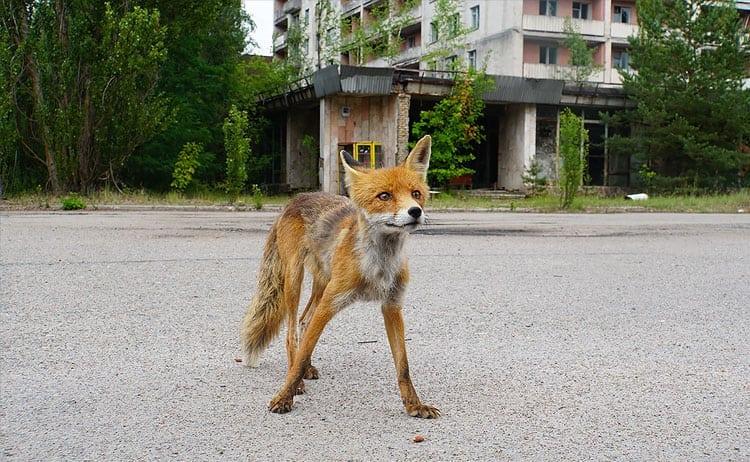 A csernobili szellemváros csalavér őrzője - Rókavilág.hu